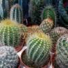 Название комнатных кактусов