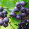 Черноплодная рябина полезные свойства