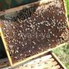 Какие породы пчел разводят