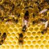 Вывод маток пчел