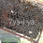 как выбрать пчёл