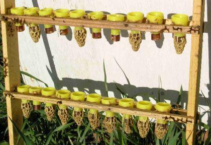 маточник пчел