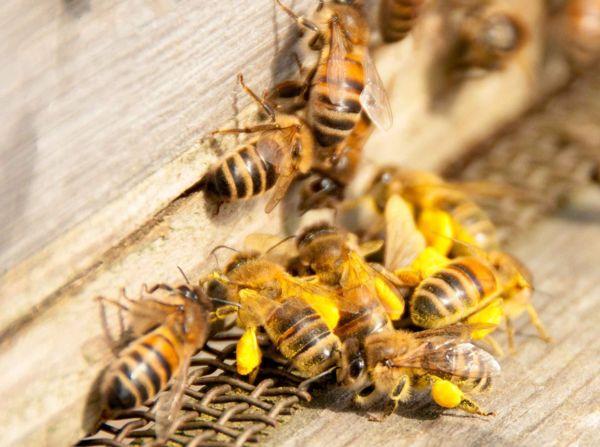 перга пчел