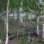 грибы березового леса