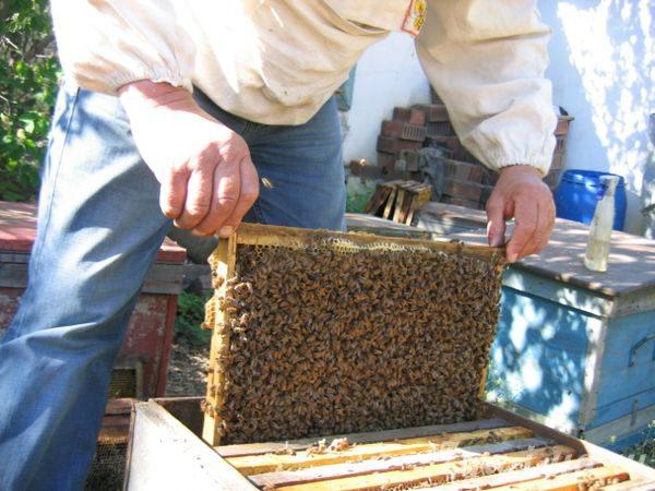 Пересадка пчёл в улей
